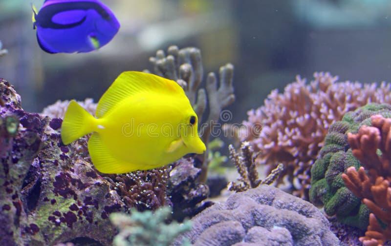 Två tropiska fiskar som simmar i det varma havet royaltyfri bild