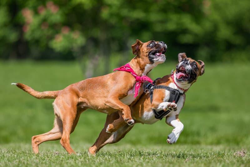 Två tyska boxarehundkapplöpning som kör och hoppar i ett fält royaltyfria bilder