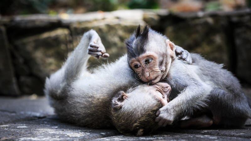 Två unga apor som spelar på jordningen arkivfoton