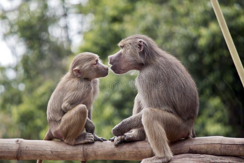 Två unga babianer arkivfoton
