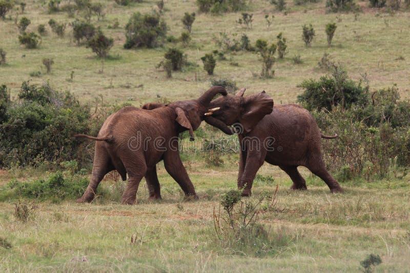 Två unga elefanter som slåss på äng i natur royaltyfria foton