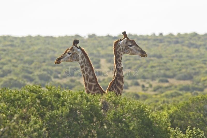 Två unga giraff som står bak någon låg buske arkivbild