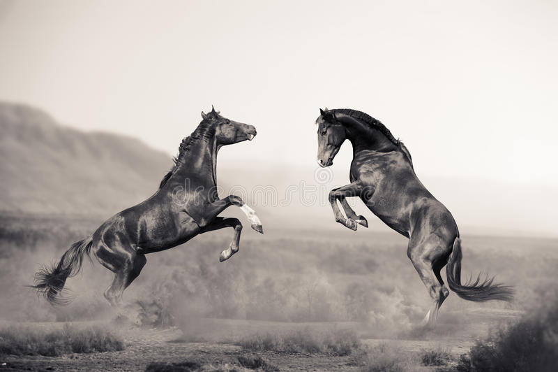 Två unga hingst som slåss i öken arkivfoton