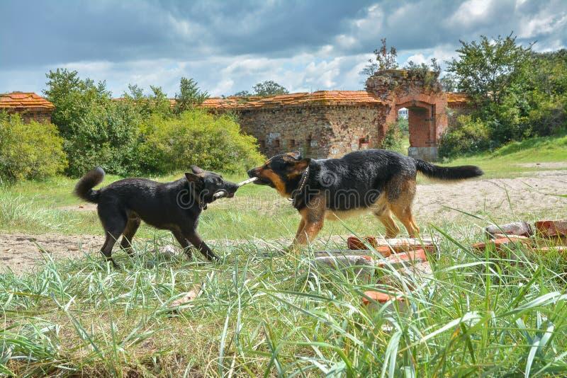Två unga hundkapplöpning som spelar med en pinne bland, fördärvar arkivbild