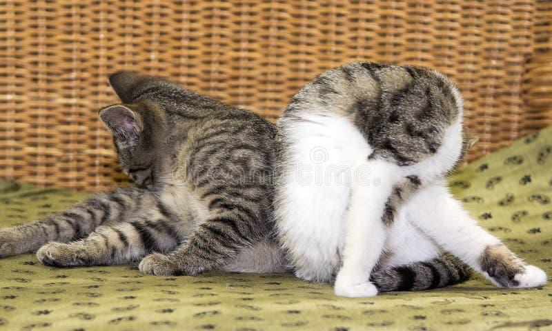 Två unga katter som gör sig ren royaltyfri bild