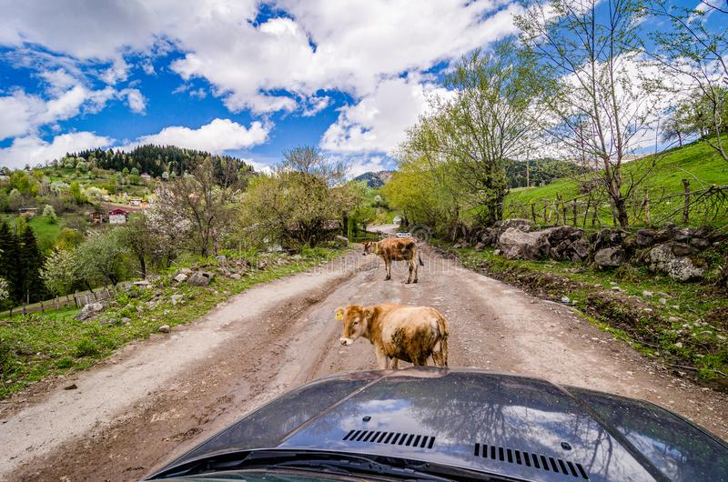Två unga kor som blockerar den huvudsakliga grusvägen i georgiska berg arkivfoton
