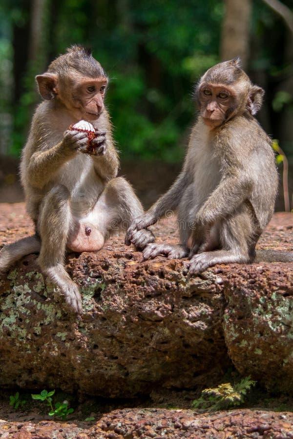 Två unga macaqueapor som delar mat i Cambodja royaltyfri fotografi