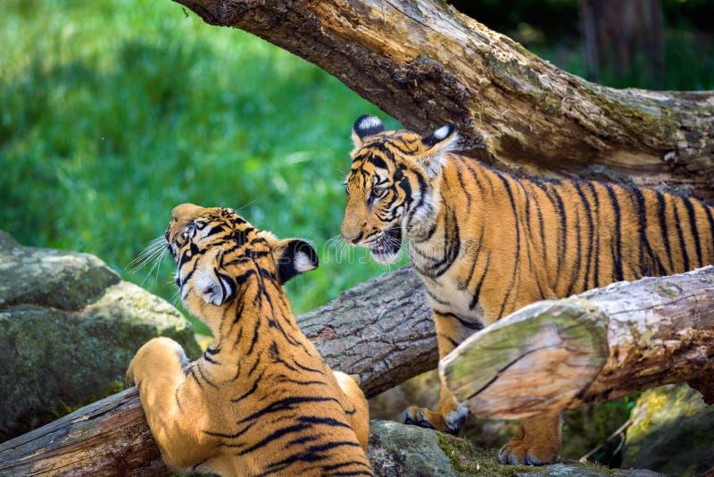Två unga malayan tigrar royaltyfri bild