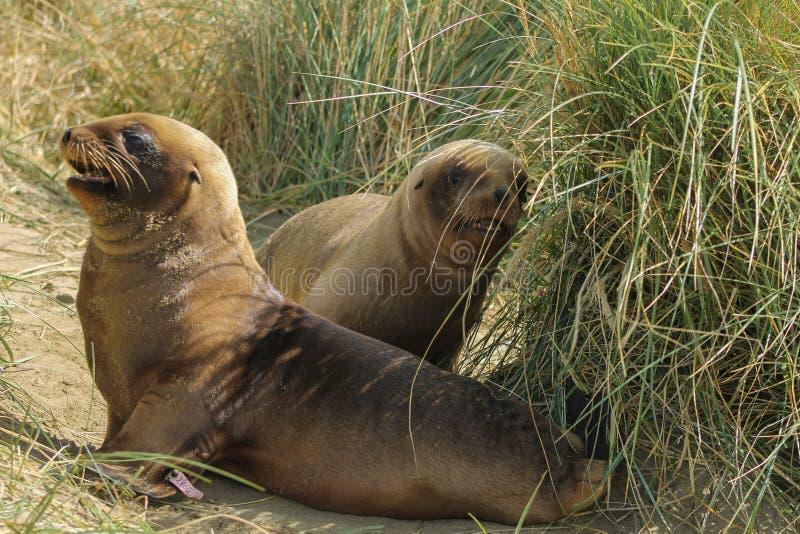 Två unga sjölejon som spelar på stålar, skäller royaltyfria foton