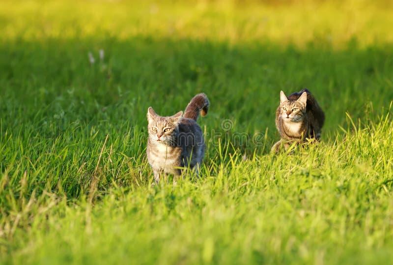 Två unga strippade katter springer efter varandra på gröngräs i vårens ljusa ängar royaltyfri fotografi