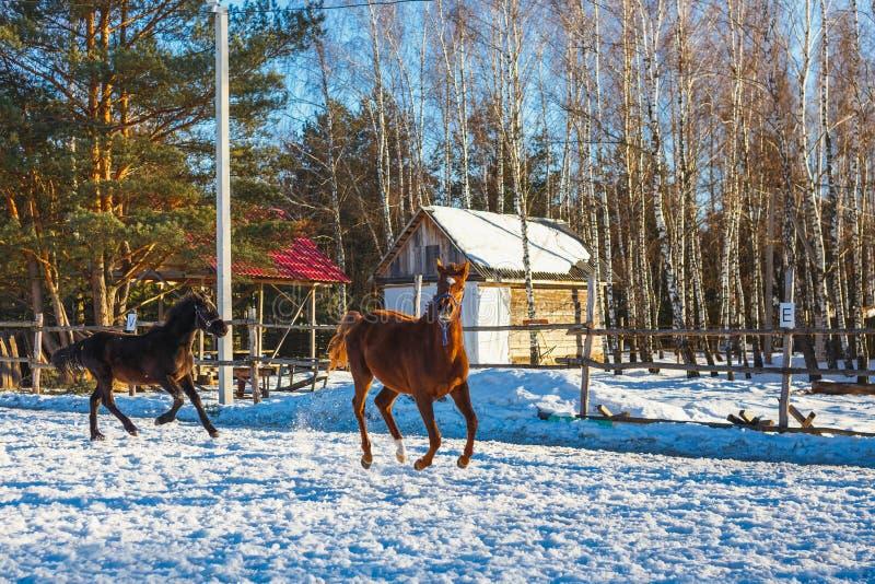 Två unga svarta och röda arabiska hingst kör galopp längs ståtar jordning Det snöar, men våren har kommit arkivbilder