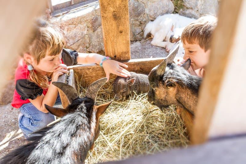 Två ungar - pojken och flickan - som tar på omsorg av tamdjur långt royaltyfria bilder