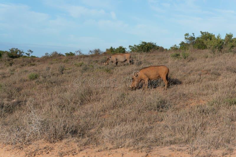 Två vårtsvin som betar i det löst safari för utkik för lek för africa djurdrev fotografering för bildbyråer