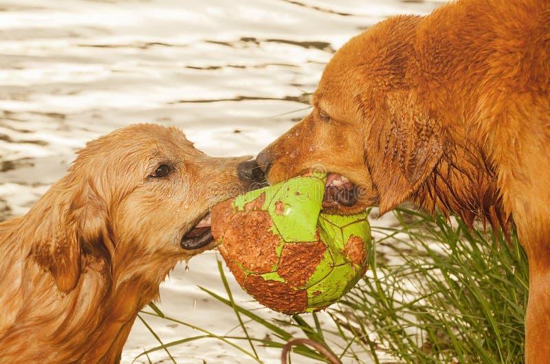 Två våta hundkapplöpning som slåss för en boll på en sjö fotografering för bildbyråer