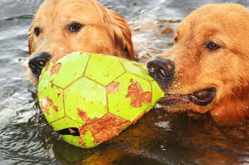 Två våta hundkapplöpning som spelar med en boll på en sjö arkivbilder