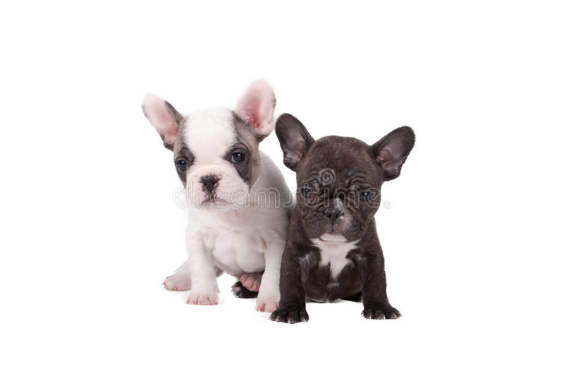 Två valpar för fransk bulldogg royaltyfri fotografi