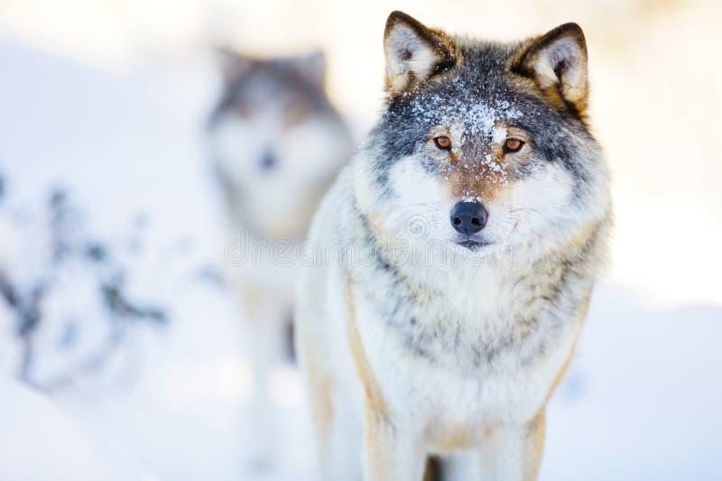 Två varger i kallt vinterlandskap royaltyfria foton