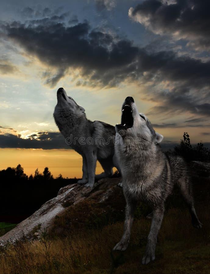 Två varger som tjuter mot solnedgången royaltyfria foton