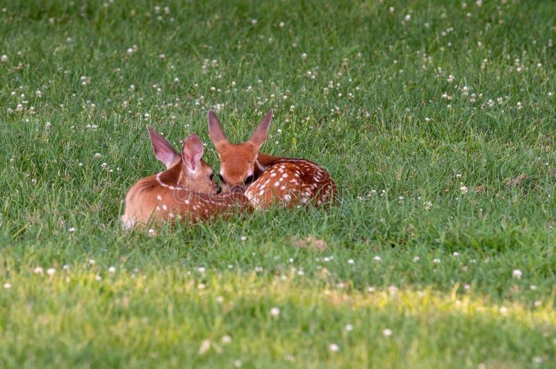 Två vit-tailed hjort lismar bäddat ned ner fotografering för bildbyråer