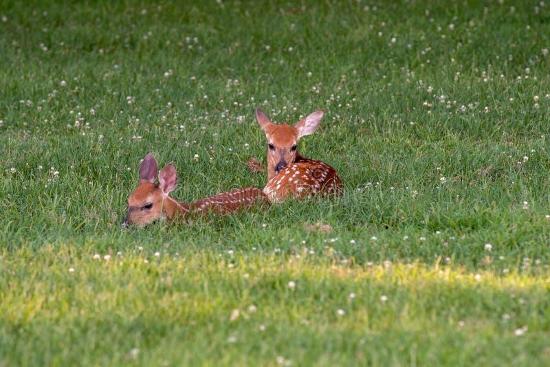 Två vit-tailed hjort lismar bäddat ned ner arkivfoton