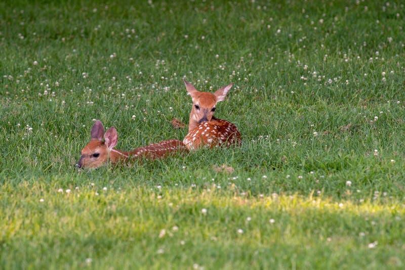 Två vit-tailed hjort lismar bäddat ned ner royaltyfria foton
