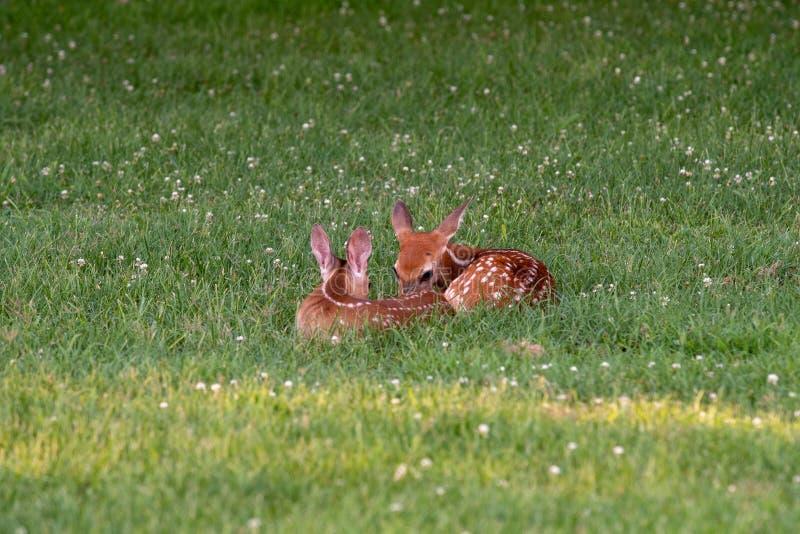 Två vit-tailed hjort lismar bäddat ned ner arkivbild