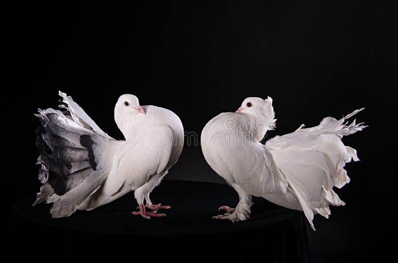 Två vita duvor arkivfoto