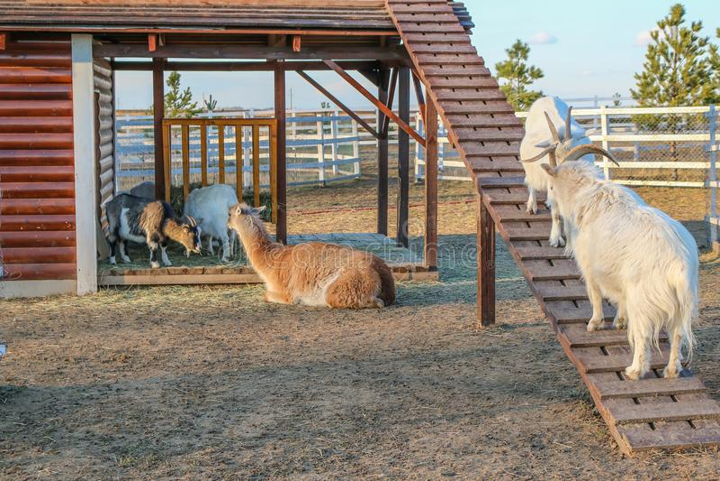 Två vita getter slåss med horn på en slutta trappuppgång, och laman vilar arkivfoto