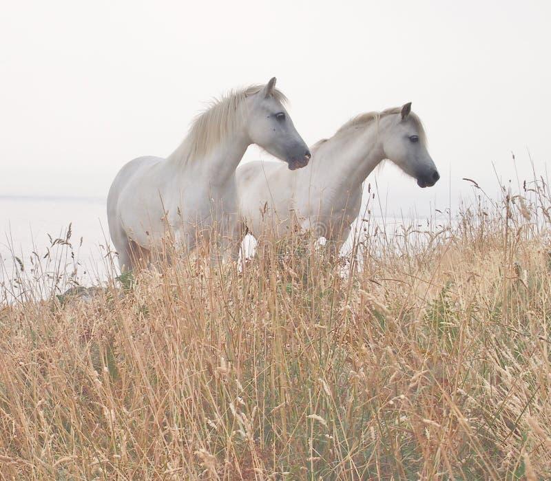 Två vita hästar arkivfoto