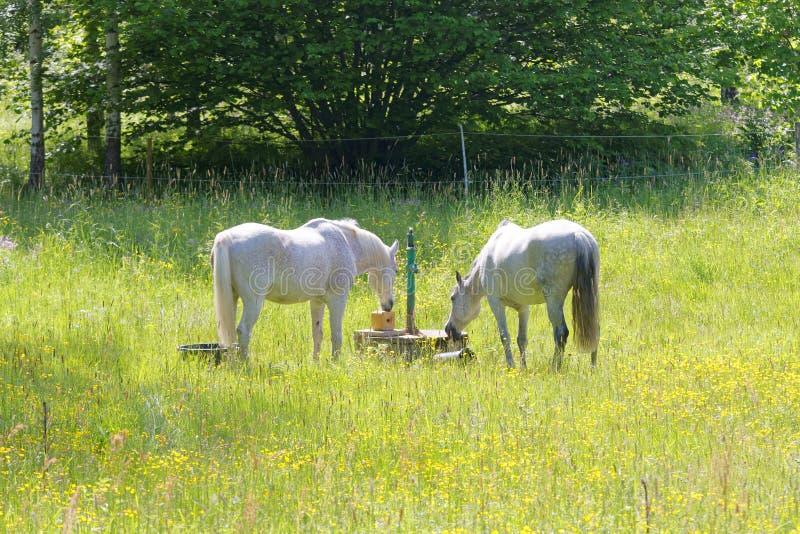 Två vita hästar i ängen mycket av gula blommor royaltyfri bild