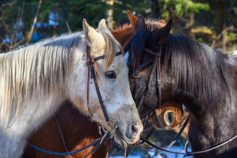 Två vita hästar och svart vinterridning fotografering för bildbyråer