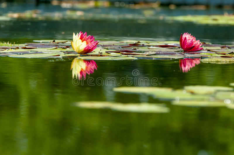 Två vita Lotus royaltyfri bild