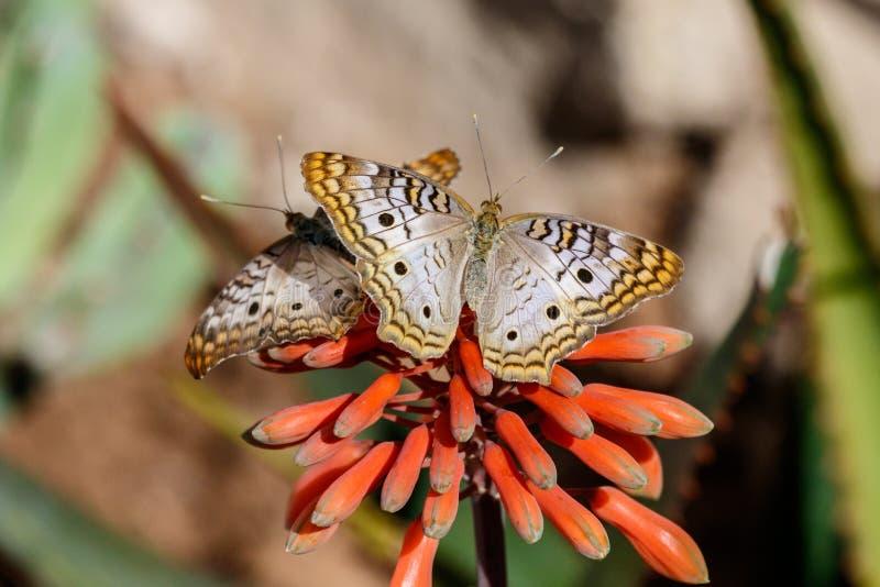 Två vita påfågelfjärilar på röd öken blomstrar tillsammans royaltyfri fotografi