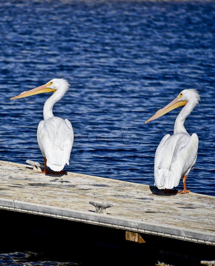 Två vita pelikan på skeppsdockan arkivbild