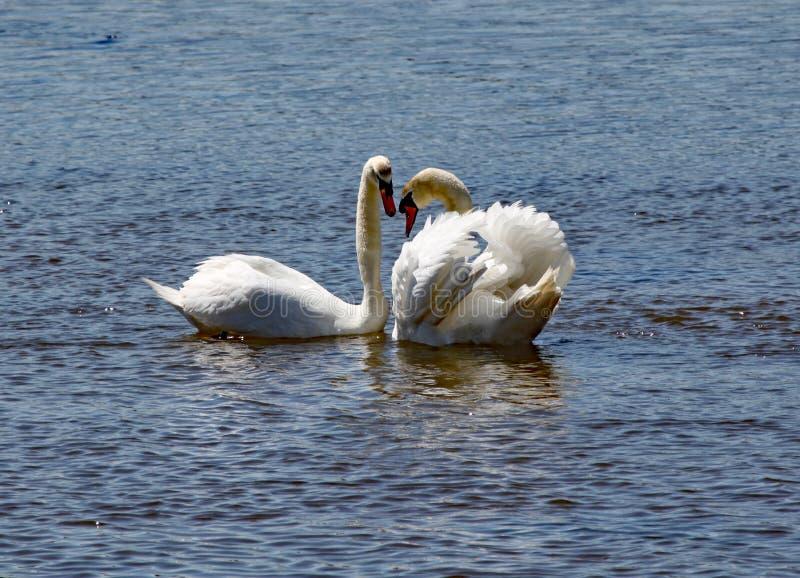 Två vita svanar att bli nästan på flodyxabreda flodmynningen i Devon fotografering för bildbyråer