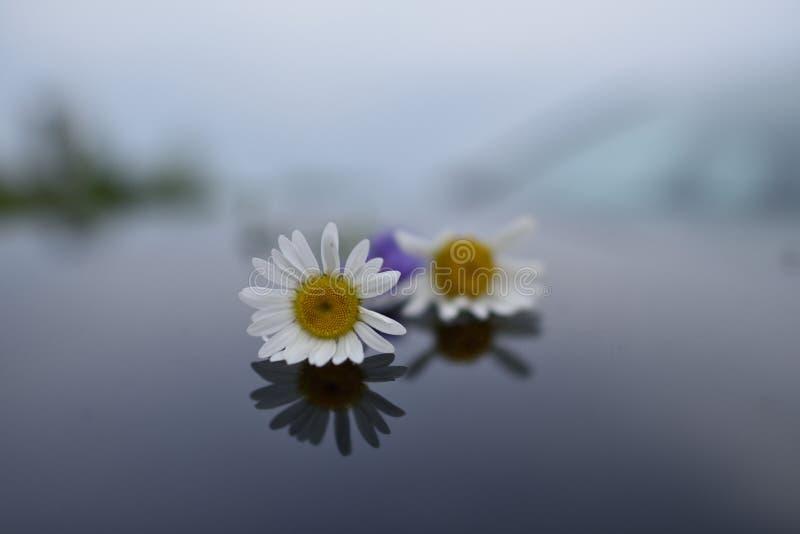 Två vita tusenskönor på överkanten av vatten arkivfoton