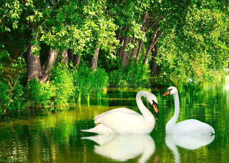 Två swans royaltyfri fotografi