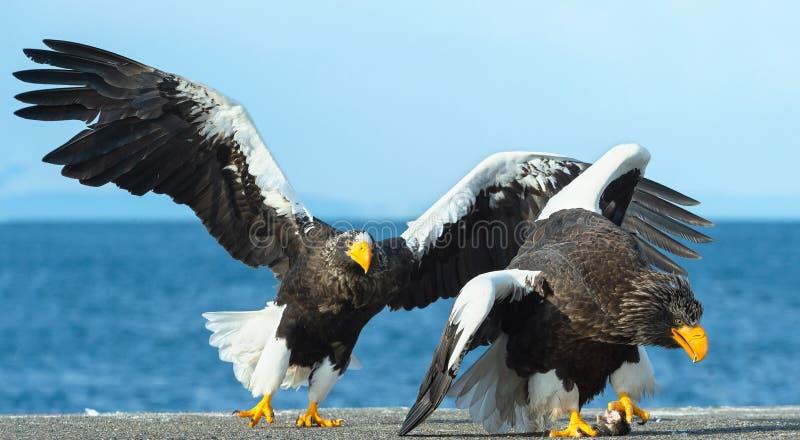 Två vuxen Stellers havsörn i kampen för rov royaltyfria foton