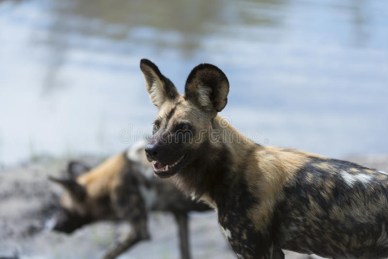 Två Wild hundkapplöpning vid bevattna royaltyfri foto