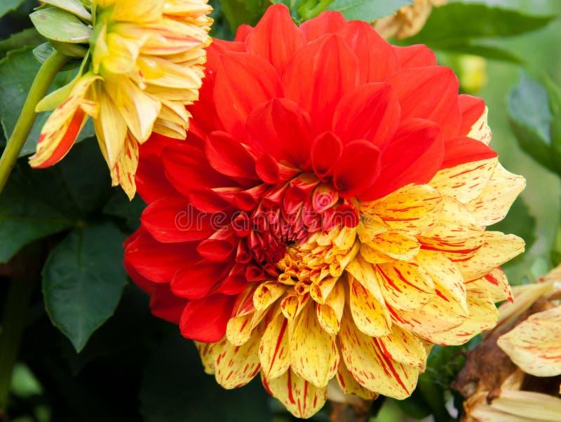 Tvåfärgad dahlia royaltyfri foto
