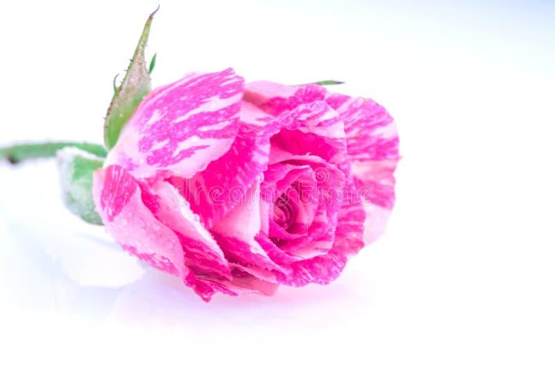 Tvåfärgad rosa färgros royaltyfria foton