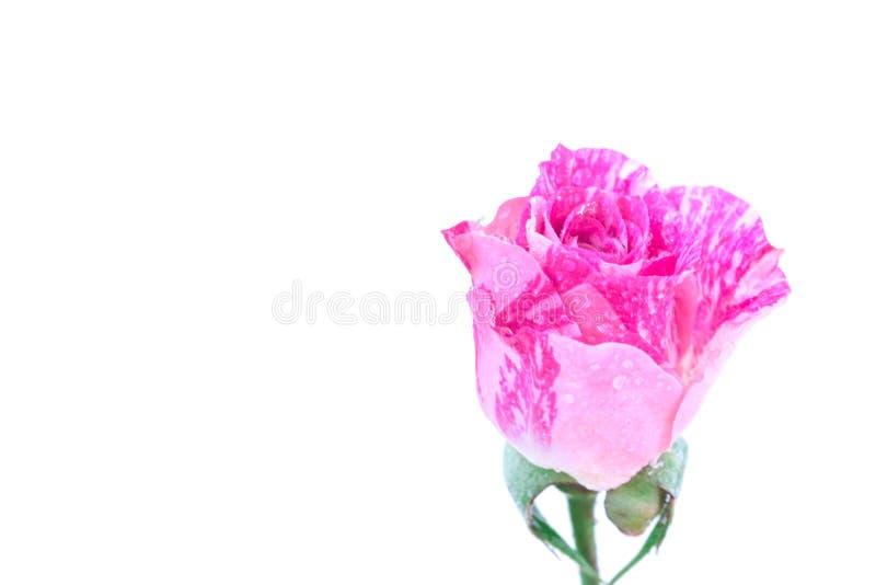 Tvåfärgad rosa färgros royaltyfri bild