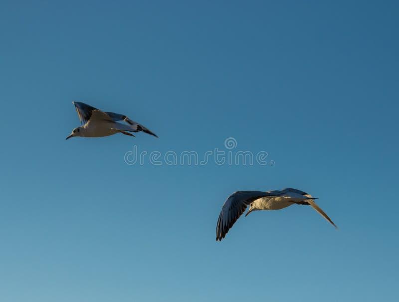 Tv? flygaseagulls p? en bakgrund av bl? himmel arkivfoton
