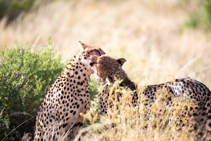 Tv? geparder borstar sig efter m?let arkivfoton