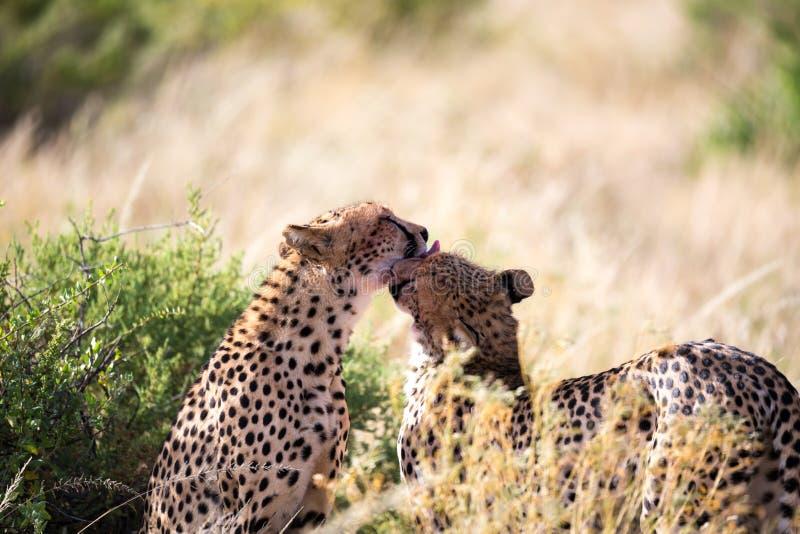 Tv? geparder borstar sig efter m?let royaltyfria bilder