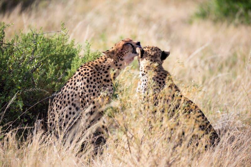 Tv? geparder borstar sig efter m?let arkivbild