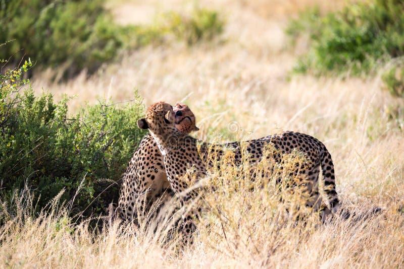 Tv? geparder borstar sig efter m?let arkivbilder