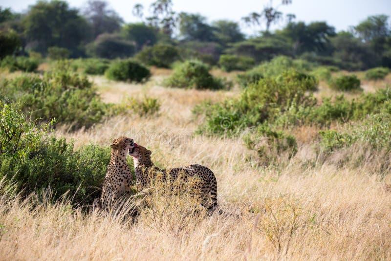 Tv? geparder borstar sig efter m?let royaltyfri fotografi