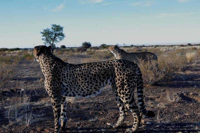 Tv? Jeethas i den namibian Kalaharien royaltyfri foto