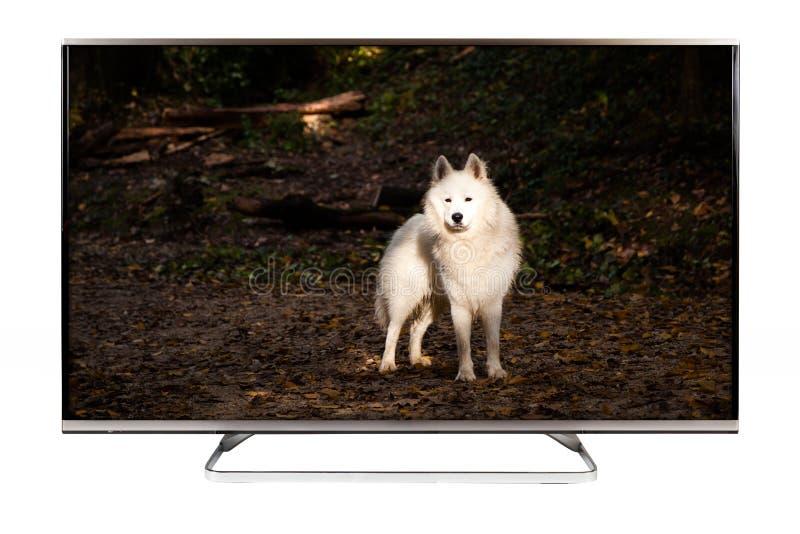 TV - 4K resolution modern television. With Samoyed dog on it royalty free stock image